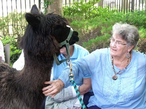 Shirley Neighoff pets Sammy the llama.