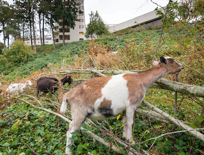 Goats help clear land at Willamette View, a CCRC in Portland, OR.