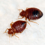 Bed bugs (Photo courtesy of Terminix)