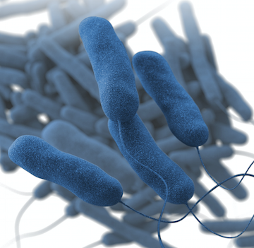 An illustration of Legionella pneumophila, which causes most Legionnaires' disease cases.