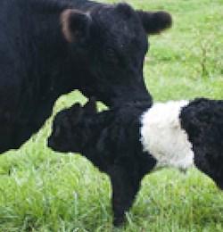 """A farm at Fearrington features """"Beltie"""" cows."""