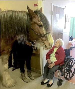 Renee the Clydesdale visits residents of The Village of East Harbor.